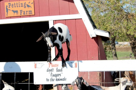 image of goat balancing on a fence